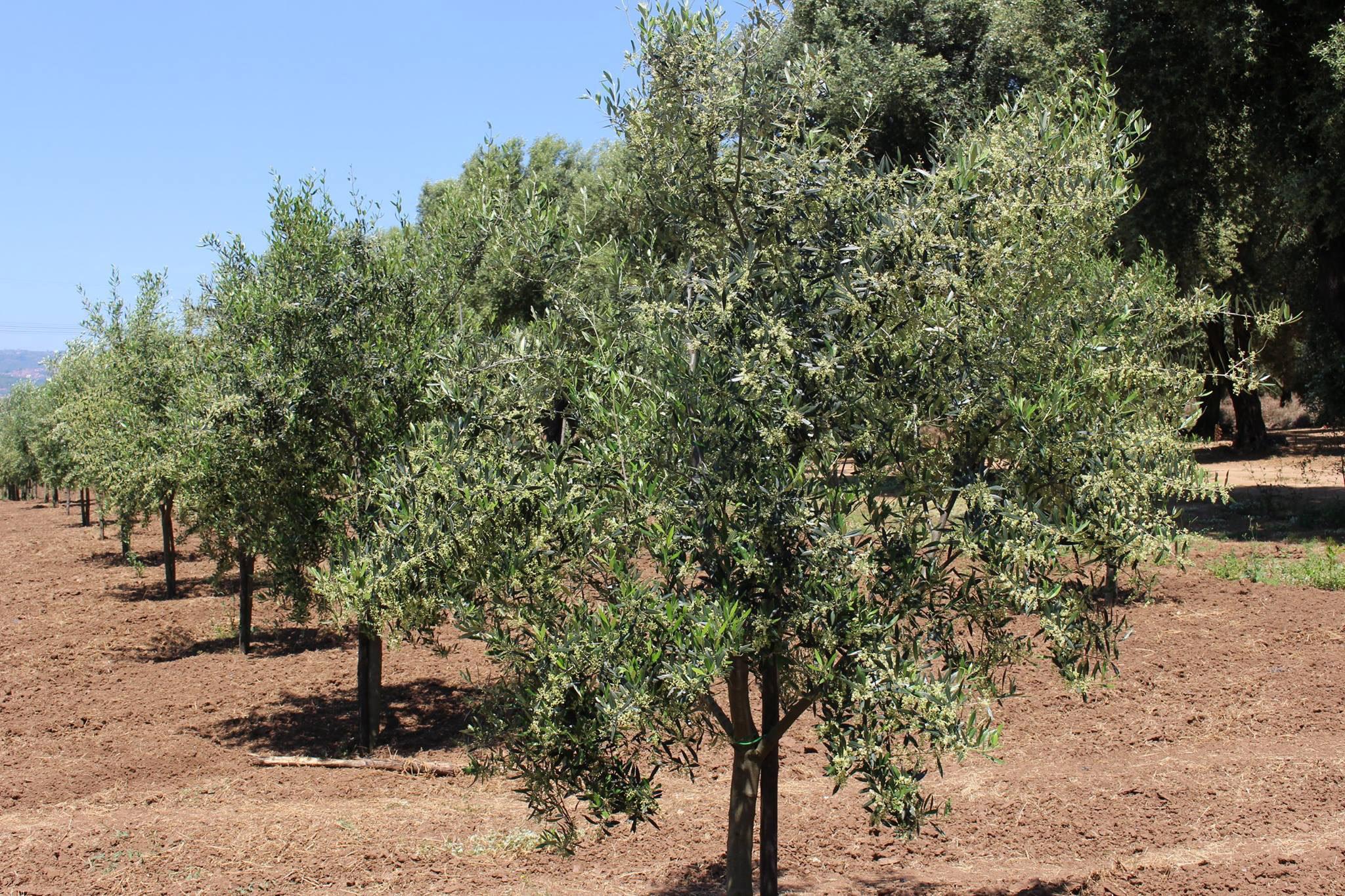 oliveti carbone